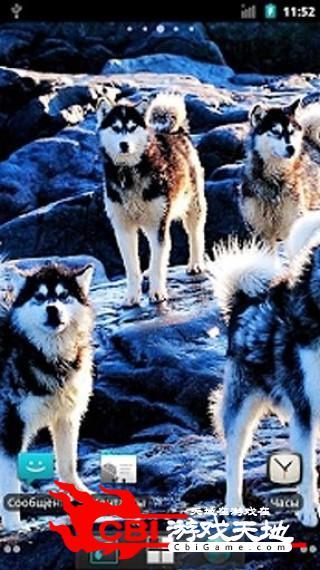 狼群动态壁纸桌面图3
